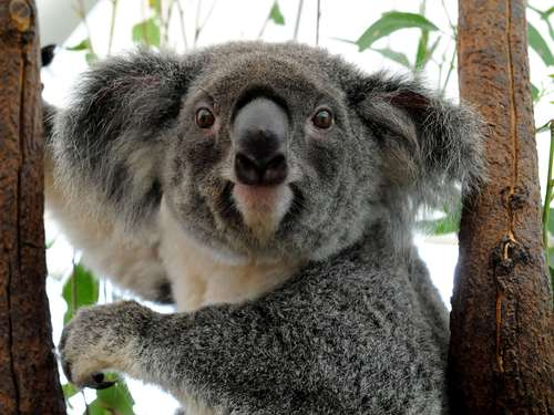 Koalas in Australien nun