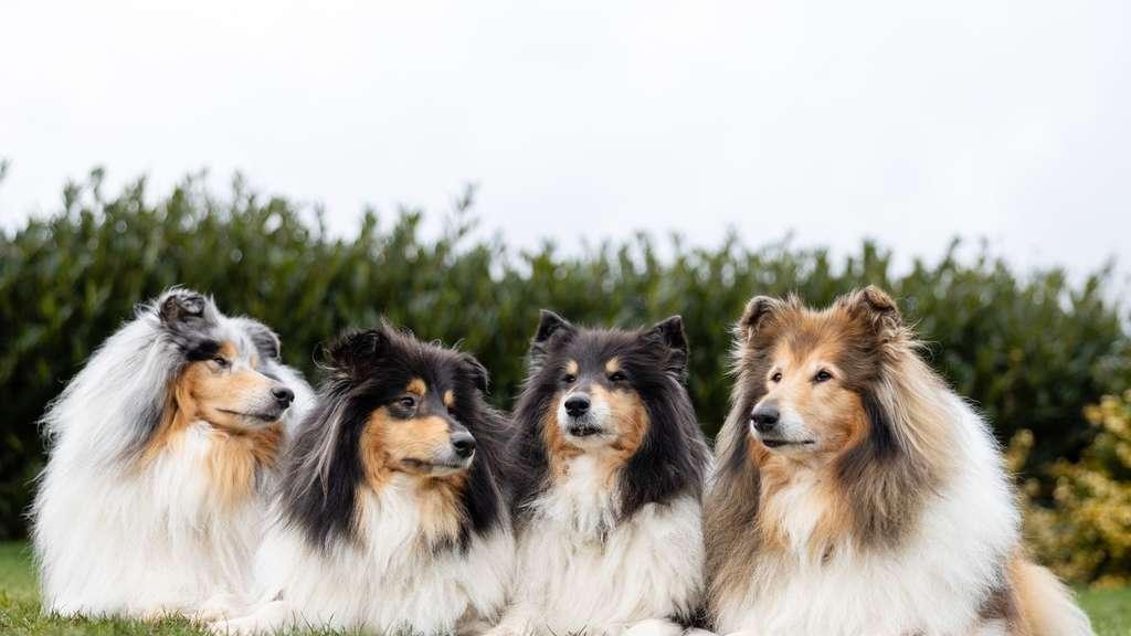 Kreuzkümmelöl Hund